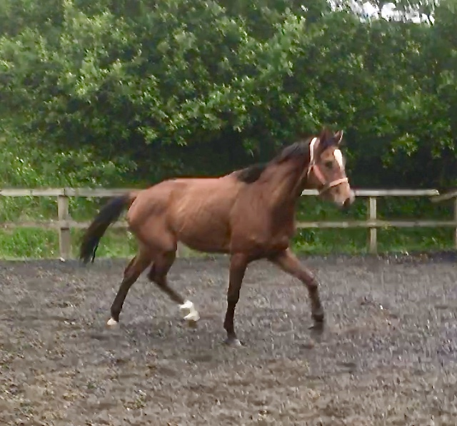 Showjump bred by Perigueux. Perpignon, Pilot bloodlines. Moves well enough for pure dressage! Bright bay gelding, rising 3 yrs, to make 16.1/2hh  He has recently imported, is going to make a lovely looking horse just needs to fill out, sweet temperament, very friendly loves attention, lovely kind eye! £3999 Ono  Tel 07974977545